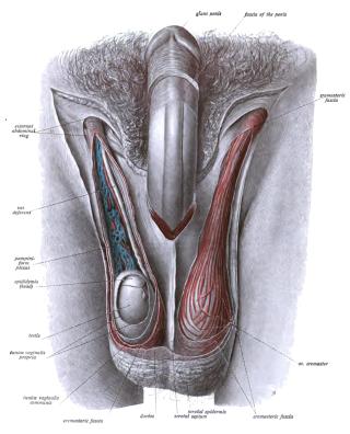 krém a nemi szervek felállítására