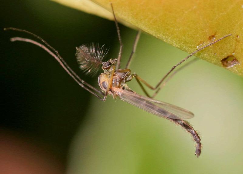 rovarok pénisz