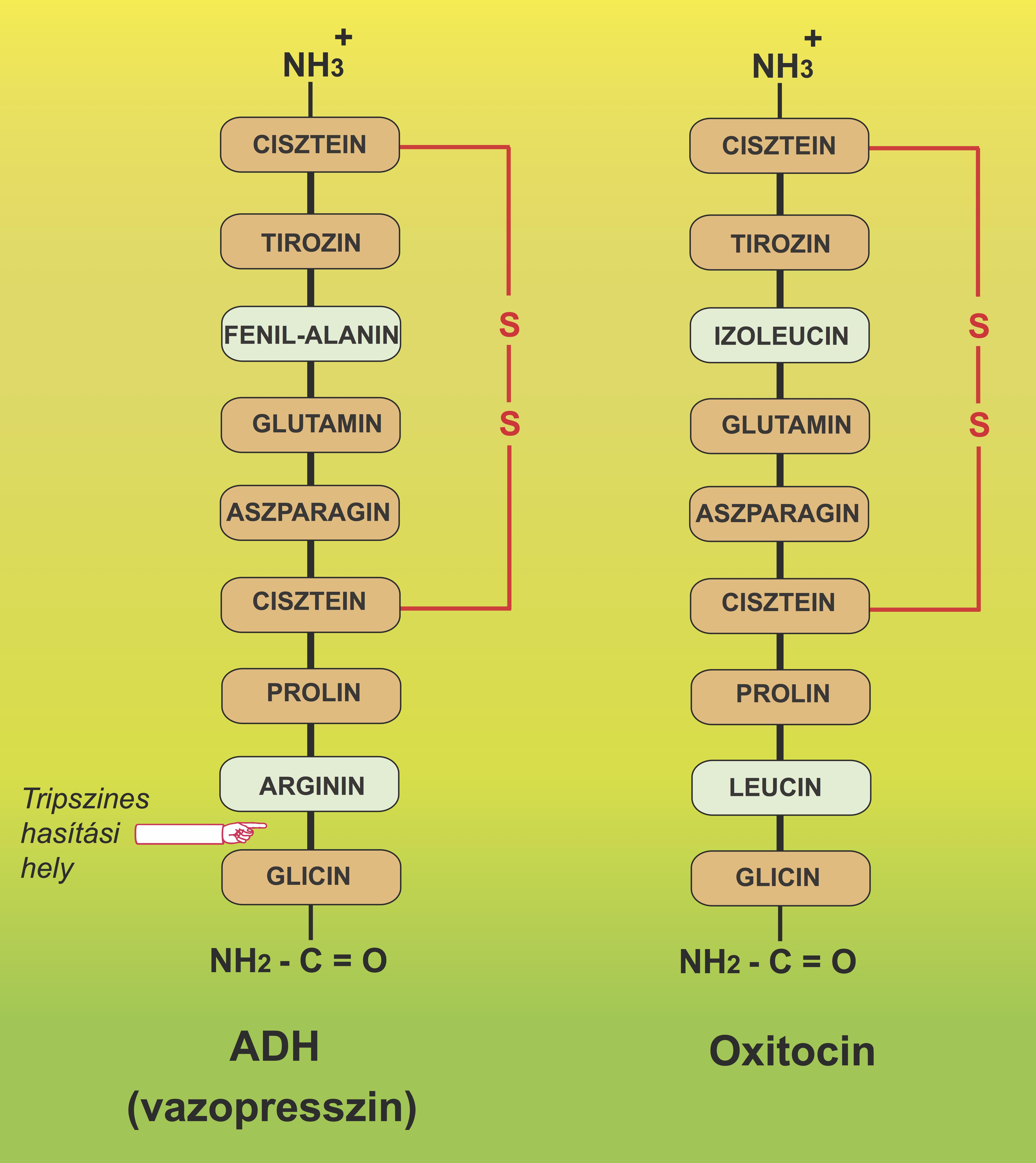 glicin-erekció)
