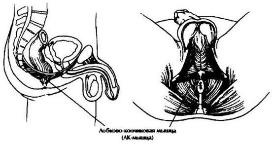 a herék masszázsa az erekció javítása érdekében