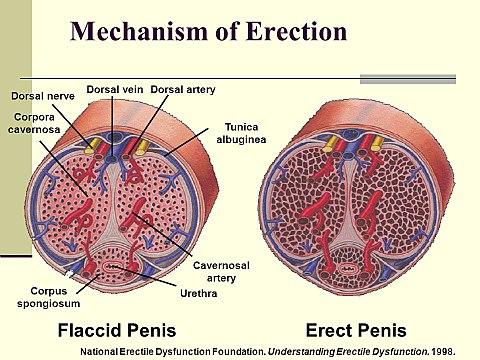 közösülés során az erekció alábbhagy)