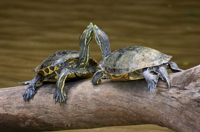 Mór teknős - Wikiwand