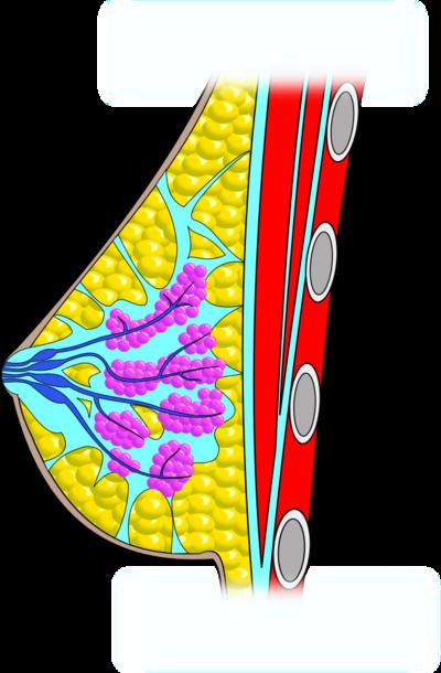 receptorok a péniszen