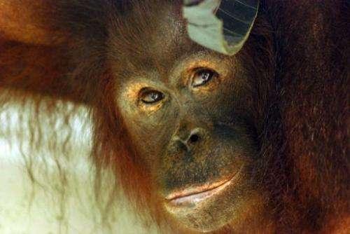 orangután pénisz)