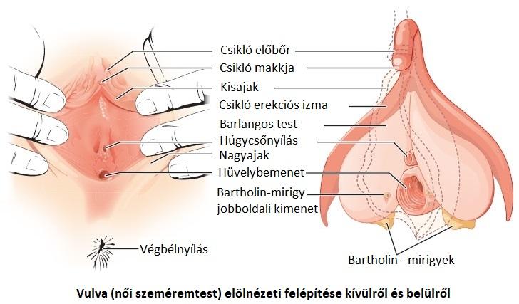 erekció a méhben)