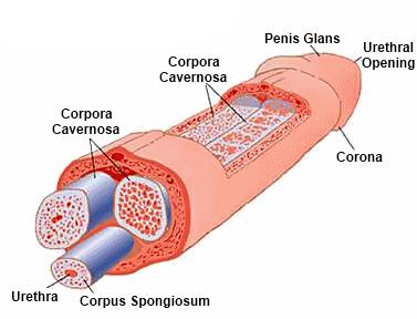 a pénisz megcsípése hogyan kezelje az erekcióját
