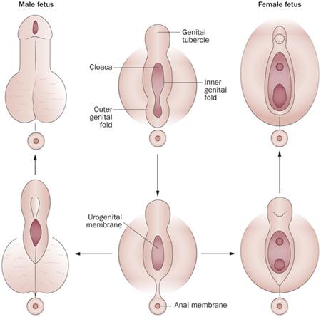 hogy egy nőnek pénisze van