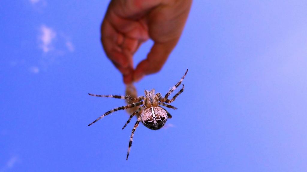 A brazil vándorpók mérge fájdalmas és hosszú erekciót okoz   Paraméter