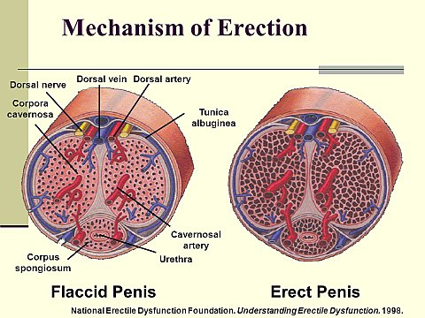 hogyan lehet visszafogni a pénisz erekcióját)