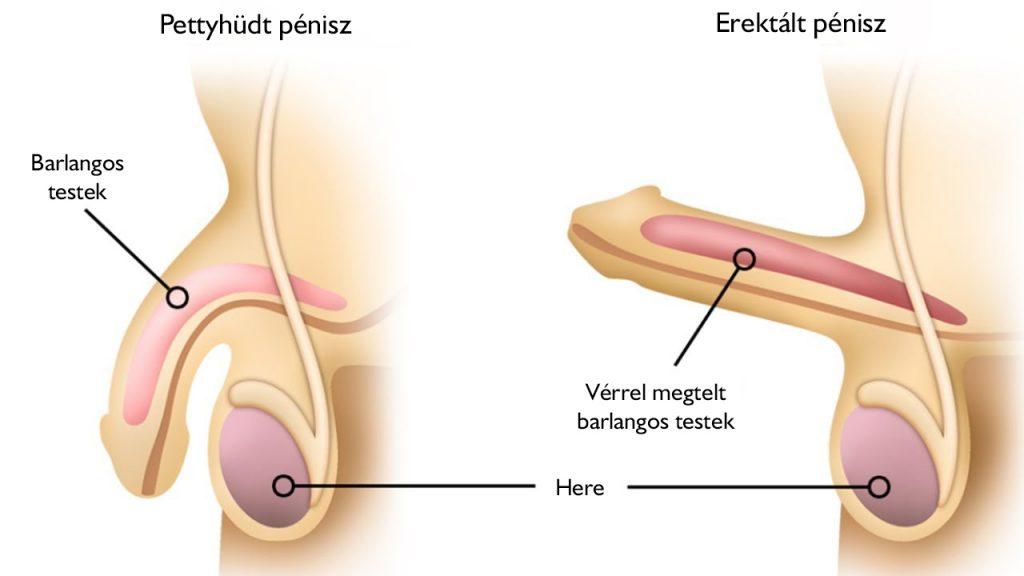 erekció során a pénisz lehajlik