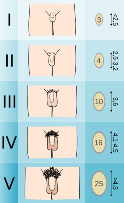 férfi hímvessző optimális mérete