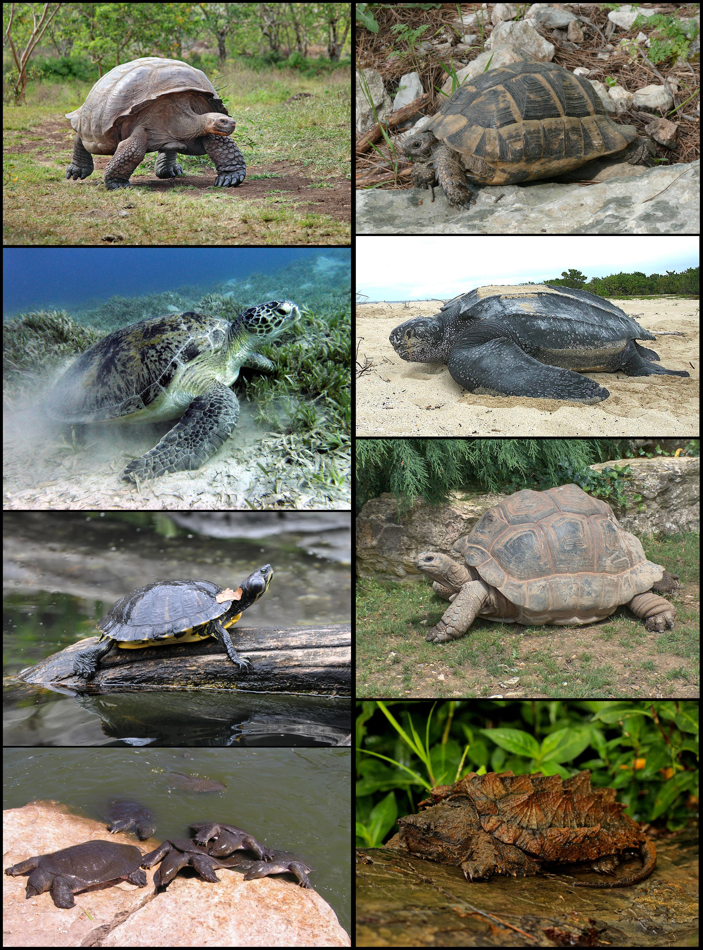 teknős pénisz)