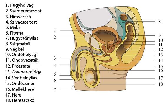 nemi szervek férfiak erekciójában