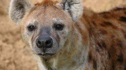 Hiénák: ellés a csiklón át!   National Geographic