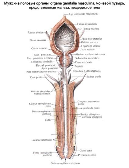 pénisz szerkezete